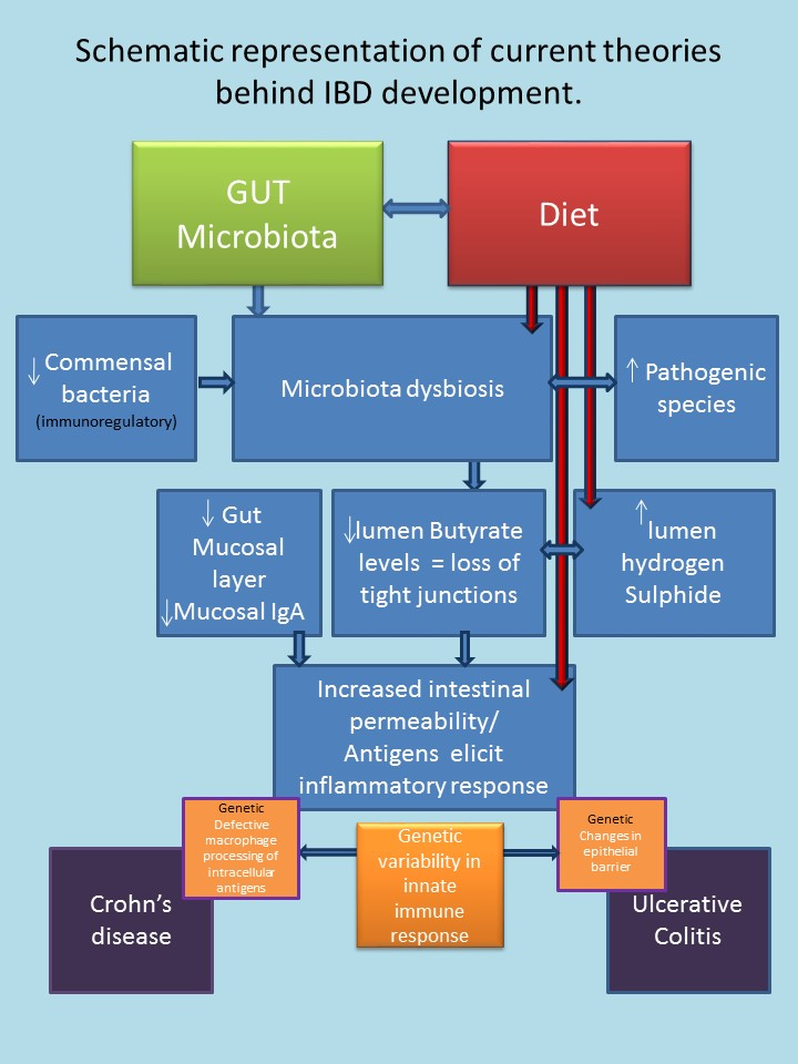 Schematic representation of theories behind IBD development (2)