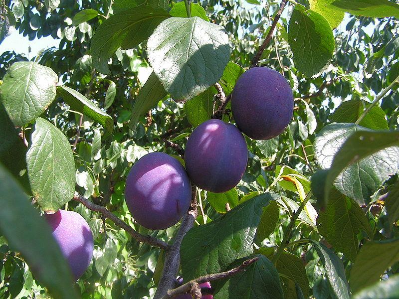 800px-Fruits_Prunus_domestica