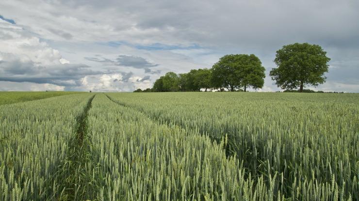 wheat-175960_1920